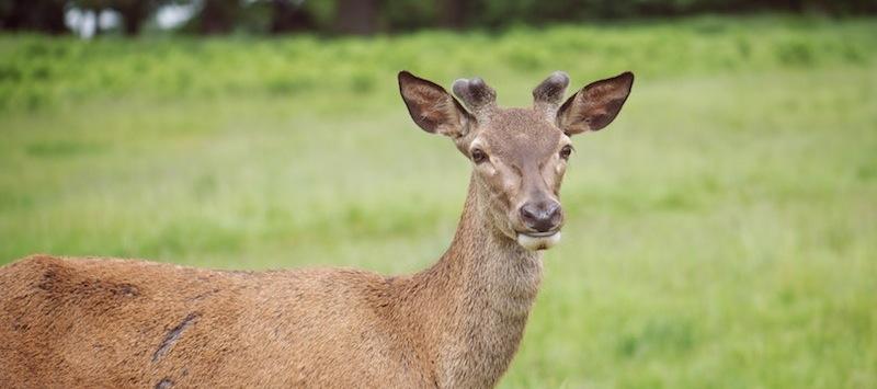 Richmond Deer closeup